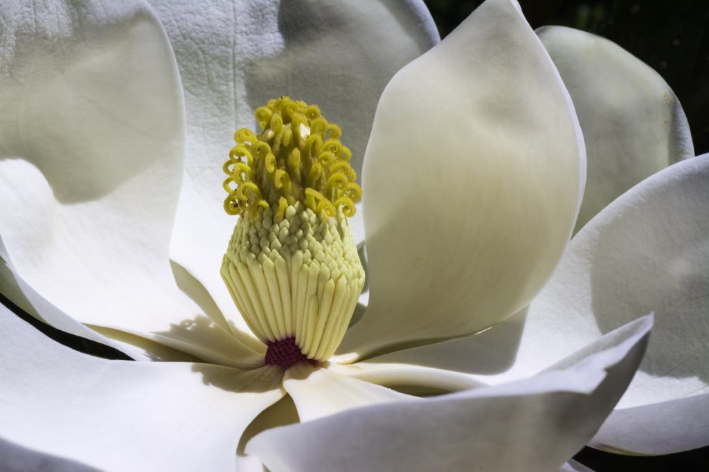 magnolia-flowers-park-spring