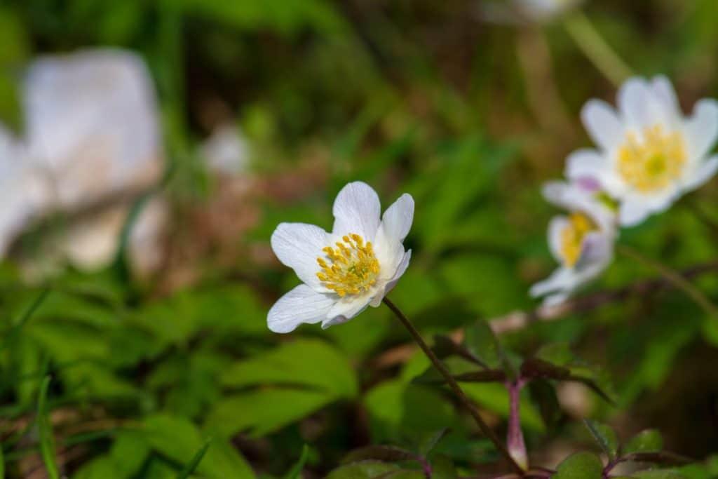 wood-anemone-3959908_1920
